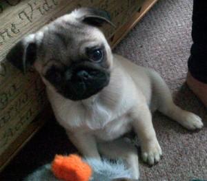 pug puppy