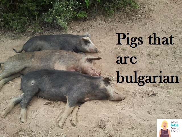 pigs that are Bulgarian